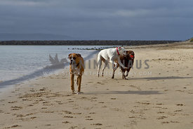 Two Boxers and a Chocoalate Lab playing on the beach