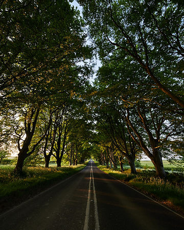 There's a real splendour to the ancient Beech trees which line either side of the road at Badbury Rings near Kingston Lacy in...