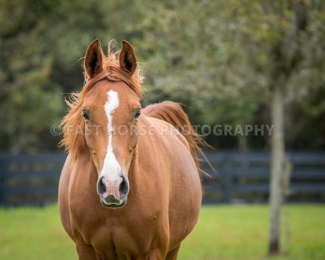 Fast Horse Photography Arabian Horse