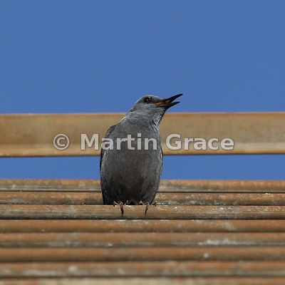 Blue Rock Thrush (Monticola solitarius) singing from an aerial, Castillo de Monfrague, Monfrague National Park, Extremadura, ...