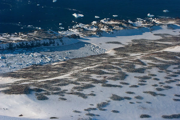 Aerial view of huge colony of Adelie penguins (Pygoscelis adeliae) Antarctica, November 2008. Taken on location for the BBC s...