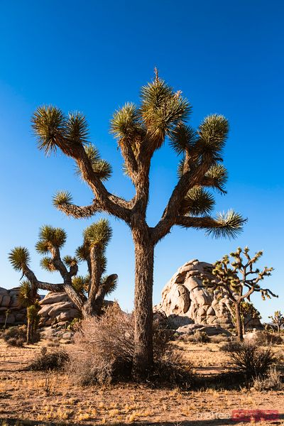Joshua Tree, California, USA