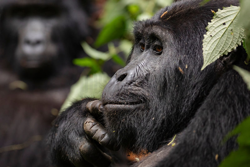 Mountain Gorilla Looking Contemplative
