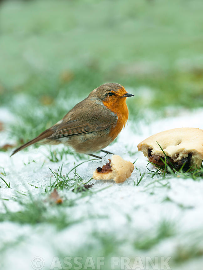Robin eating mince pie