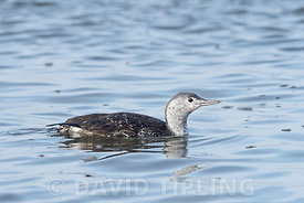 Red-throated Diver Red throated Loon) Gavia stellata adult completing moult into non breeding plumage Brancaster Norfolk November