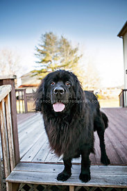 black Newfoundland outside on deck with tongue out