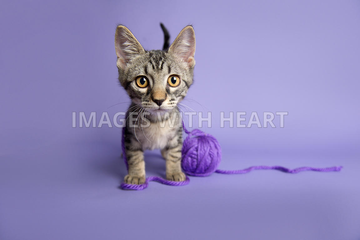 Curious tabby kitten with purple yarn