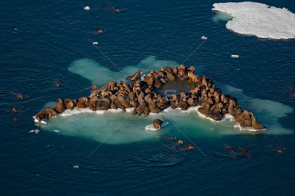 Walrus (Odobenus rosmarus) herd resting on and swimming around a chunk of pack ice during the spring breakup. Chukchi Sea, of...