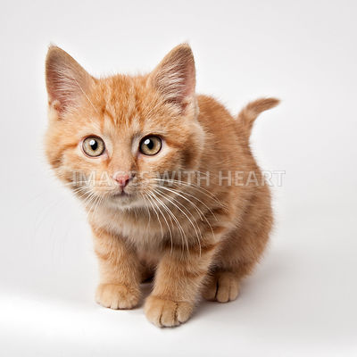 Orange kitten looking at camera