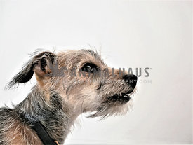 terrier puppy against white background