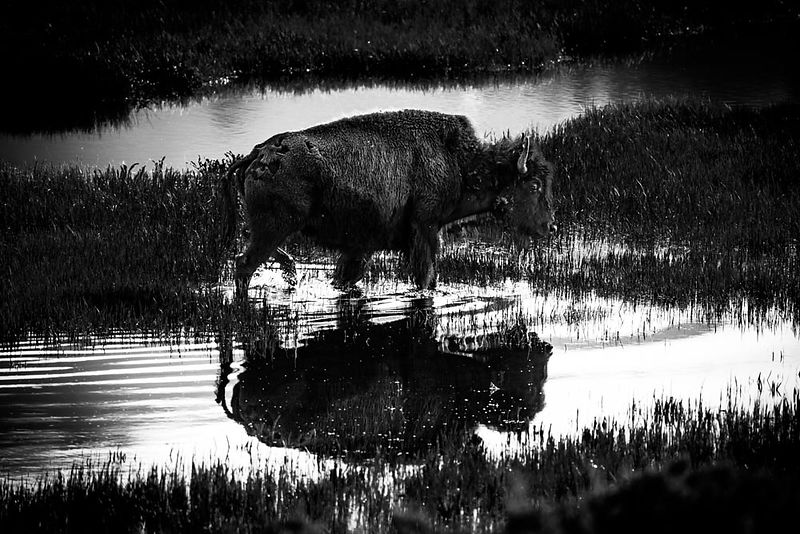4885-Bison_du_Yellowstone_Wyoming_2014_Laurent_Baheux
