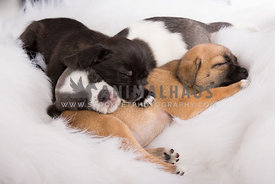 Three mixed breed puppies sleeping closely together on white blanket