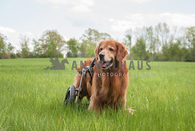 Golden Retriever in a wheelchair in a field