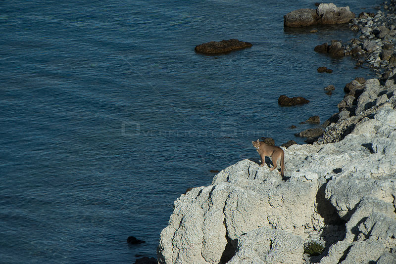 Puma (Felis concolor patagonica) female, looking over Lago Sarmiento, aerial view. Torres del Paine National Park, Patagonia,...