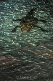 American Crocodile in Dry Tortugas National Park