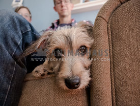 terrier puppy lying on couch looking into the camera