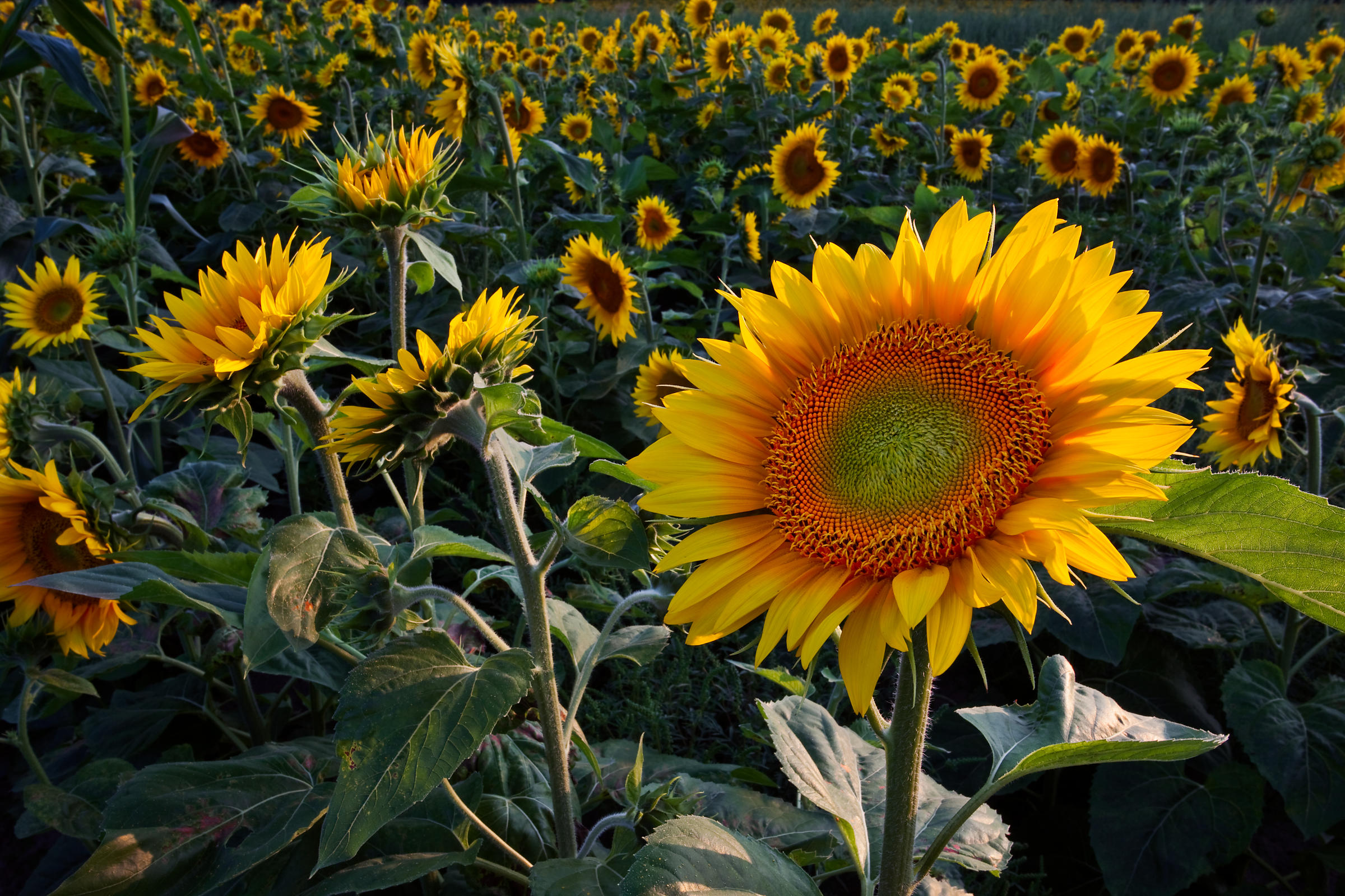 Wisconsin_Sunflowers