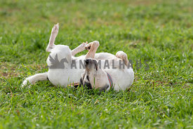 A senior dog rolling in the grass