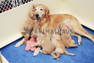 Happy Golden Retriever with a litter of puppies