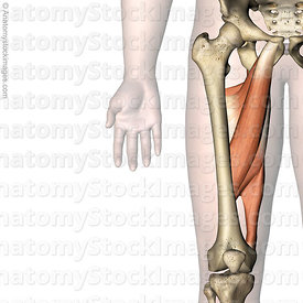 hip-muscles-aductors-musculus-adductor-brevis-longus-magnus-muscle-skin