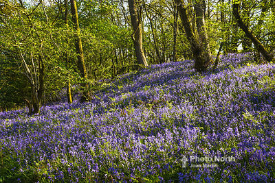 BLUEBELL 03A - Bluebell Woods