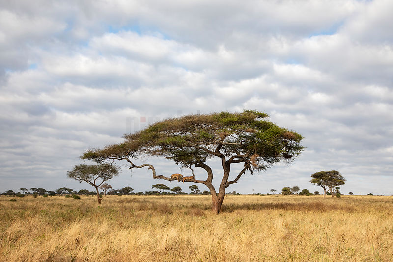 Lions Sleeping in an Acacia Tree