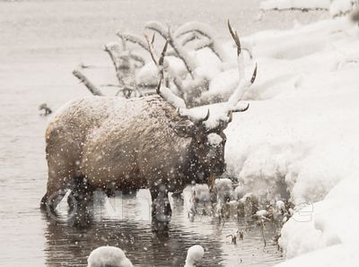 Elk-Madison_River-1014_January_19_2018_Nat_White