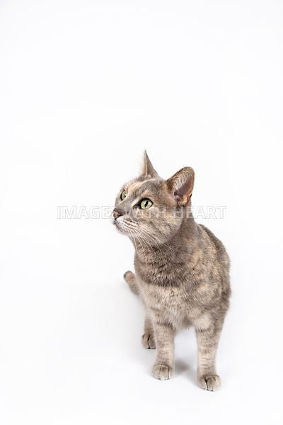 Full Body Cat Standing on White Background