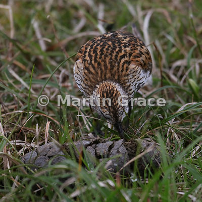 Dunlin (Calidris alpina) feeding on sheep faeces, Hermaness National Nature Reserve, Unst, Shetland: Image 2 of a sequence of 6