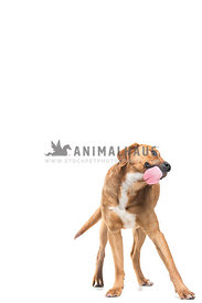 standing dog tounge out