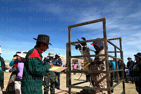 Measuring the weight of a llama that has been selected to take part in competition, Curahuara de Carangas, Bolivia