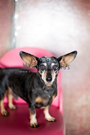 dashchund looking at camera with big ears sitting on a pink chair