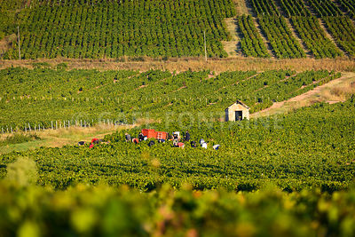 Workers in vineyards of Beaujolais during harvest and close to a typical hut, France