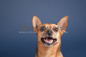 smiling brown chihuahua portrait on a blue background