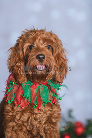 close up of cockapoo wearing Christmas collar