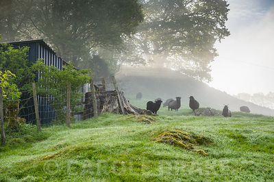 Hebridean sheep with lambs on a misty morning. Windy Hall, Windermere, Cumbria, UK