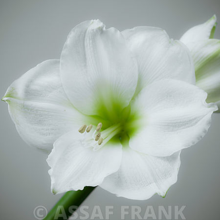 Close-up of White Amaryllis