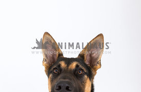 German shepherd peeking into photo in studio