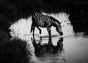 00538-Zebra_drinkin_in_the_river_Kenya_2018_Laurent_Baheux
