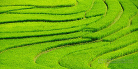 Terraced Lush Green Rice Paddies Close-Up