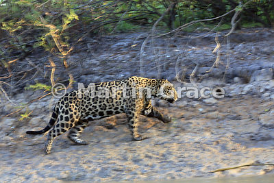 An image with intentional motion blur as the male Jaguar (Panthera onca) known as Marley moves rapidly up the riverbank, Rive...