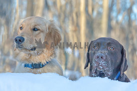 Adorable golden retriever dog and chocolate labrador dog sitting in the snow with icy muzzles