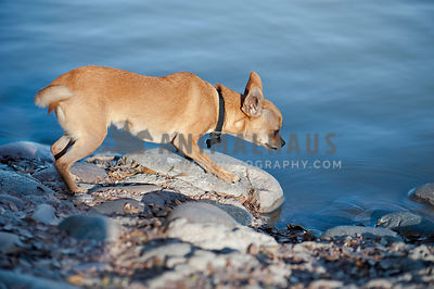 Chihuahua on rocks at edge of water