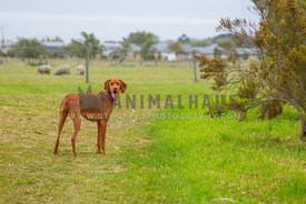 vizsla on a farm