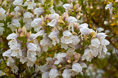 Protanthera striatiflora, or Jocky's Cap, native flower of Western NSW