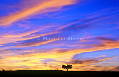 Cork tree in the vast plains of Alentejo. Portugal