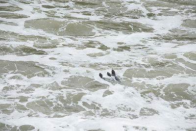Family of three Marine otters (Lontra felina) swimming in sea, Punta Corrientes, Peru, Endangered species