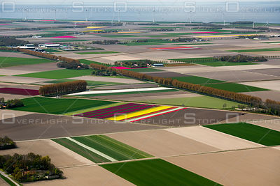 Flowering tulip fields in the North-East polder in the center of the Netherlands with the background of the 'Westermeerwind' ...