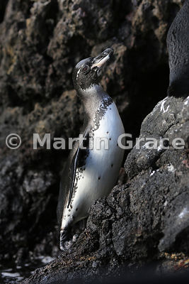 Galapagos Penguin (Spheniscus mendiculus) freshly emerged from the sea, Sombrero Chino, Galapagos Islands