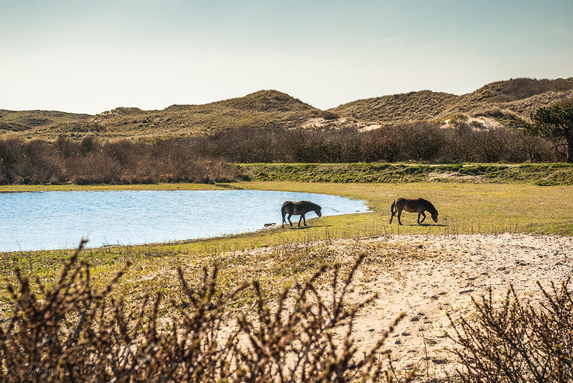 Two wild Konik horses in the dunes at the edge of a seep.